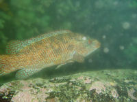 Ballan wrasse photographed at Cathedral Rock, St Abbs.