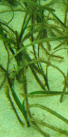 Zostera sp. on of the species of seagrass found in British waters.