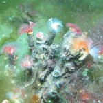 Photo of a reef of Serpula vermicularis showing range in colours