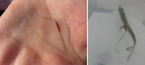 Parasite Lernaeenicus sprattae shown on a juvenile spratt, and after removal