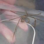 Spider crab (macropodia)