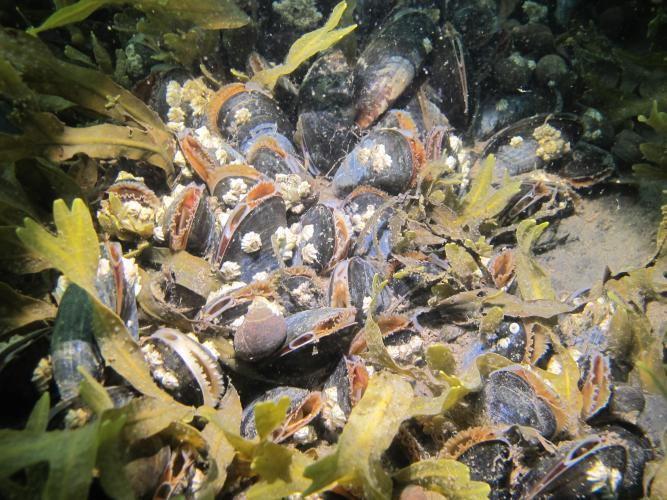 mussels under water