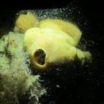 Sponge(photo underwater)