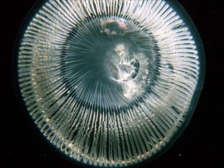 Photograph of the jellyfish Aequorea vitrina, by Gordon Fletcher